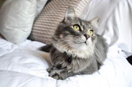 Par lung de pisica, frumusete, dar si responsabilitate